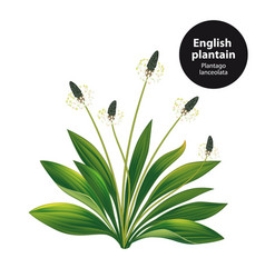 English plantain plantago lanceolata vector