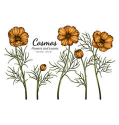 orange cosmos flower and leaf drawing with line vector image