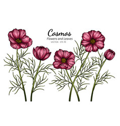Red cosmos flower and leaf drawing with line art vector