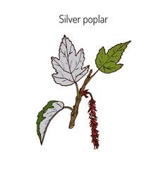 silver poplar branch vector image
