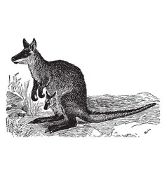 Black wallaby vintage vector