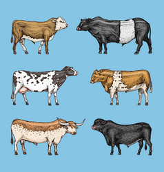 farm cattle bulls and cows different breeds of vector image