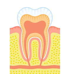 Internal structure tooth vector
