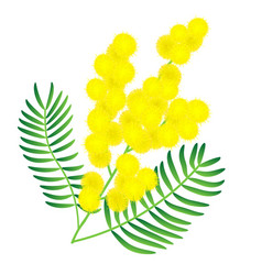 yellow mimosa flower vector image
