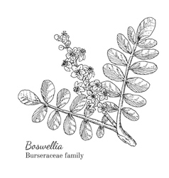 Ink boswellia hand drawn sketch vector