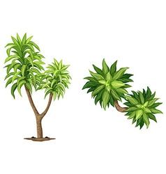 Queen dracaenas plant vector