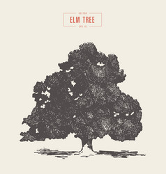 High detail vintage elm tree drawn vector