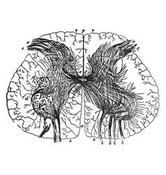 Spinal cord vintage vector
