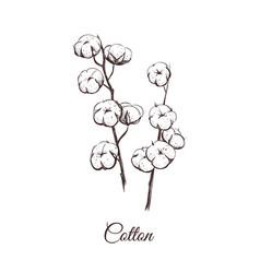 Sprigs cotton sketch vector