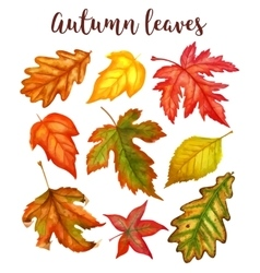 Autumn leaves a watercolor on a white background vector image