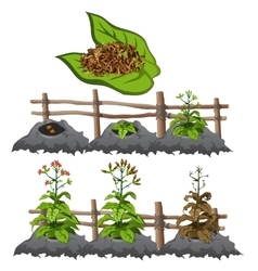 Growth stages of tobacco agriculture vector