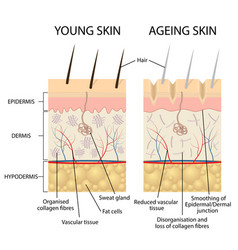 young and older skin vector image