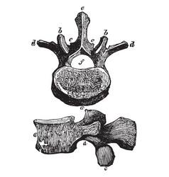 Vertebra of the loins vintage vector