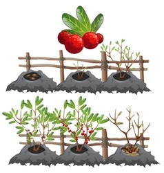 Growth stages of cranberries agriculture vector image vector image
