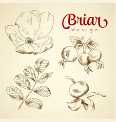 set of sketch briar flower berry and leaf vector image