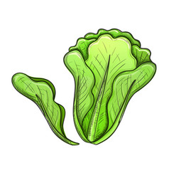 Green salad vector