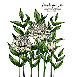 White torch ginger flower and leaf drawing with vector