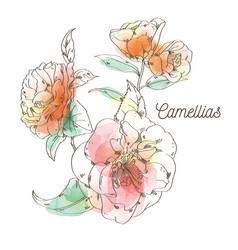 camellias flower painting on white background vector image