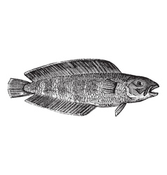 Marine fish vintage engraving vector