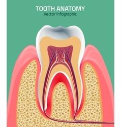 Teeth anatomy vector image vector image