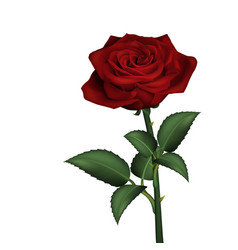 realistic red rose vector image