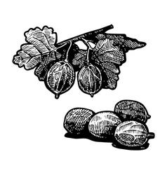 gooseberry vector image