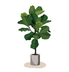 Beautiful fiddle leaf tree in ceramic pot on white vector