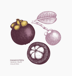 purple mangosteen fruit vector image