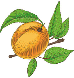 Ripe apricot with green leaf and branch vector