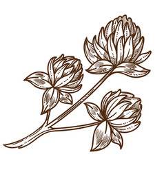 Clover or shamrock blossom isolated sketch wild vector
