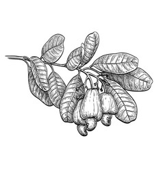 Ink sketch of cashew branch vector