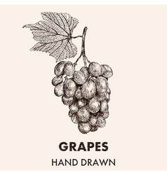 Sketch grapes cluster with a leaf Hand drawn vector