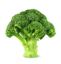Fresh green broccoli vector