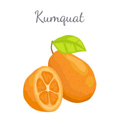 Kumquat exotic juicy fruit isolated citrus vector