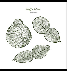 kaffir lime vector image