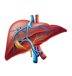 Internal liver vector