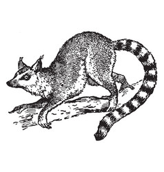 Ring tailed lemur vintage vector