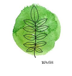 leaf rowan tree vector image