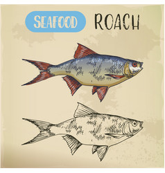seafood or common sea roach slater sketch vector image