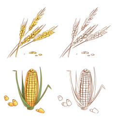 hand drawn ears of wheat and corn isolated on vector image vector image