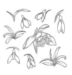 hand drawn elegant snowdrop vector image