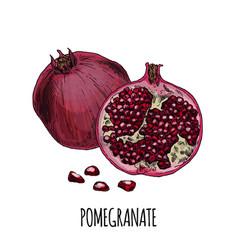 Pomegranate full color realistic hand drawn vector