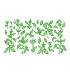 stevia set sweetleaf organic alternative vector image