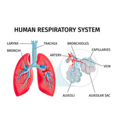 Human anatomy infographic chart vector
