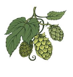 Sketch hops branch on green tones vector