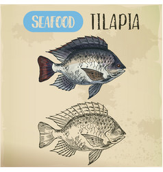 tilapia or cichlid fish sketch for restaurant menu vector image