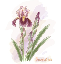 Bearded iris Watercolor imitation vector image vector image