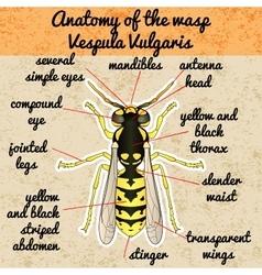 Insect anatomyWasp Vespula Vulgaris Sketch of vector image