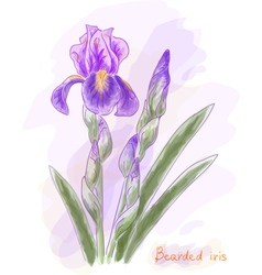 Bearded iris Watercolor imitation vector image vector image