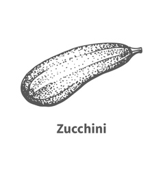 hand-drawn zucchini vector image
